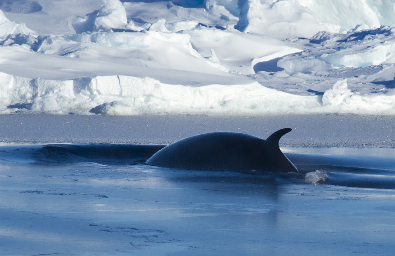Dorsal fin of a fin whale as it surfaces. Image: Richard Youd / Australian Antarctic Division