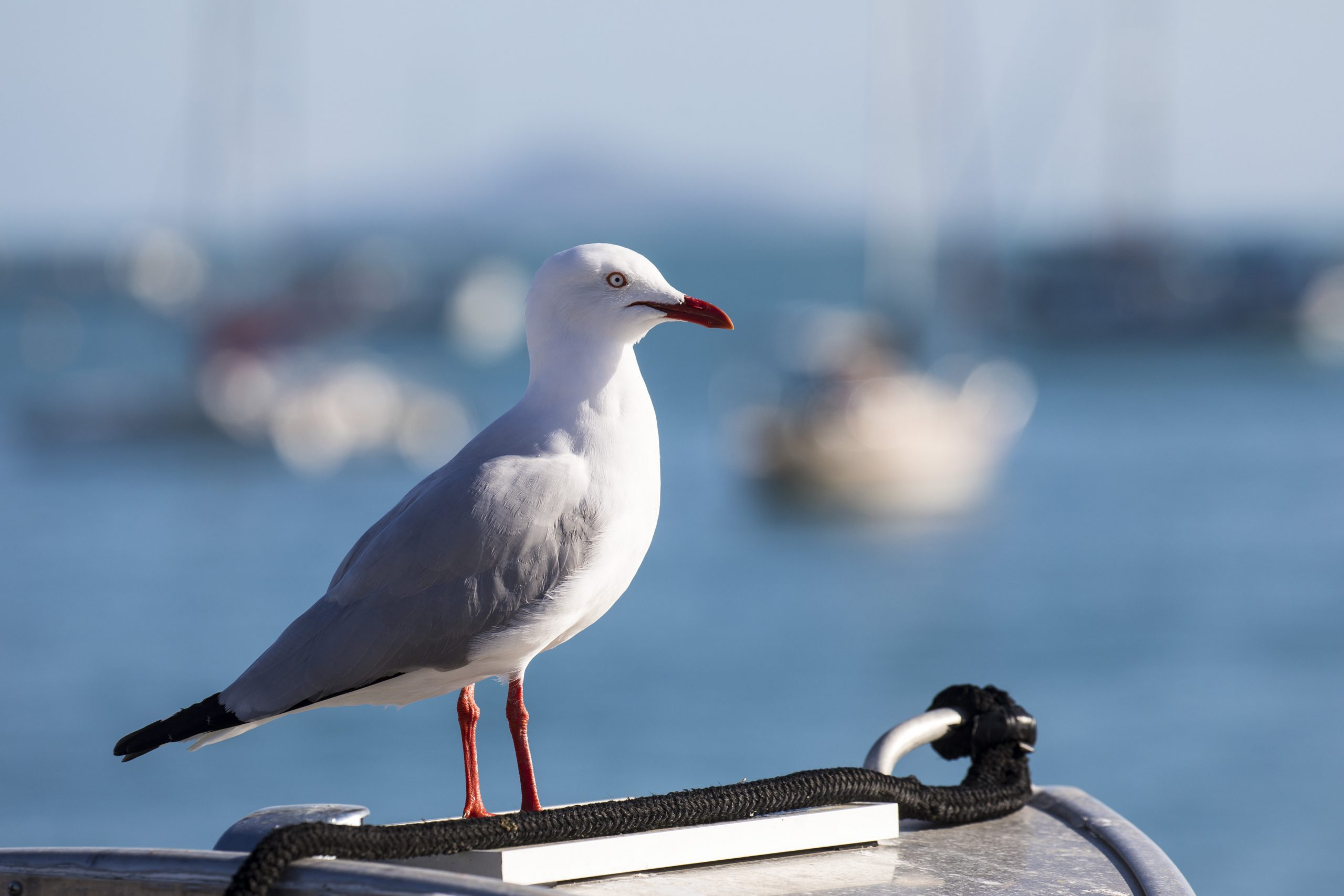 Seagull-on-the-lookout-for-breeze---Andrea-Francolini-pic