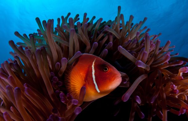 Clown fish swims amongst sea anemones in Great Barrier Reef