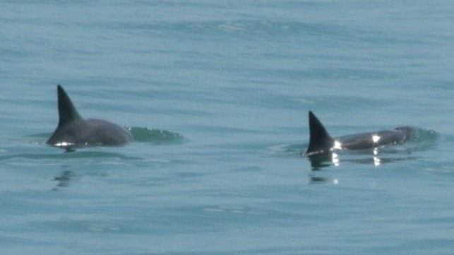A Vaquita pair. Credit: Sea Shepherd.
