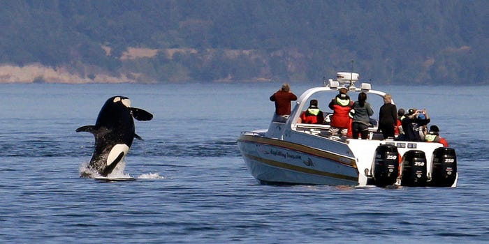 An orca leaps out of the water near a whale watching boat in the Salish Sea on July 31