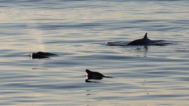 Distinctive new whale species off Baja. Photo US Navy.