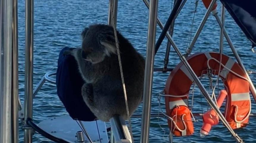 Koala stowaway. Photo Darren Chester/Twitter.