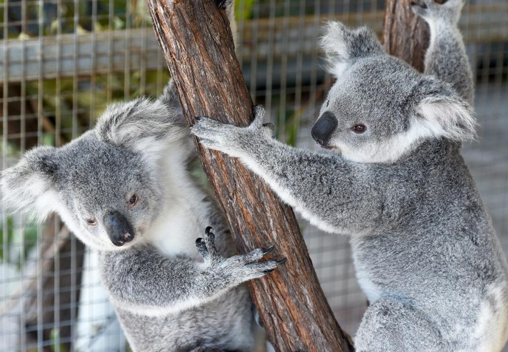Two Koalas hugging a tree.
